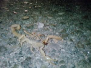 Scorpion alive